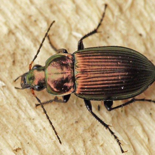 Fam. Laufkäfer (Carabidae) / Unterfam. (Pterostichini)                                             Fund: D-22880 Wedel/eigener Garten/Kl.: 13 mm
